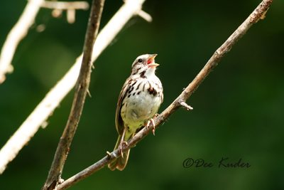 Song Sparrow - Crane Lake Nature Blog