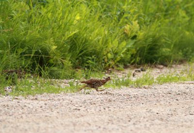 Ruffed Grouse Fledgling