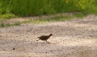 Ruffed Grouse running