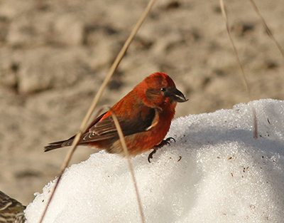 crossbill,red-male