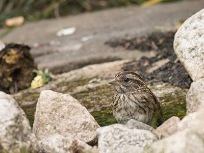 juvenile sparrow, white-throated