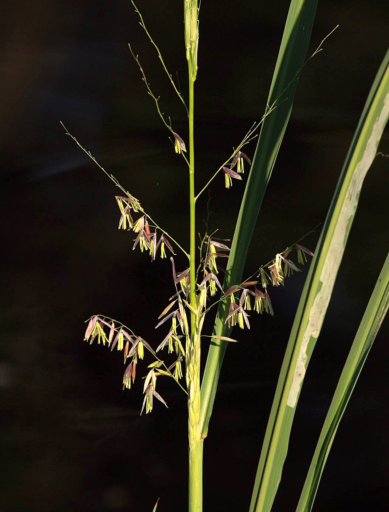 blooming wild rice