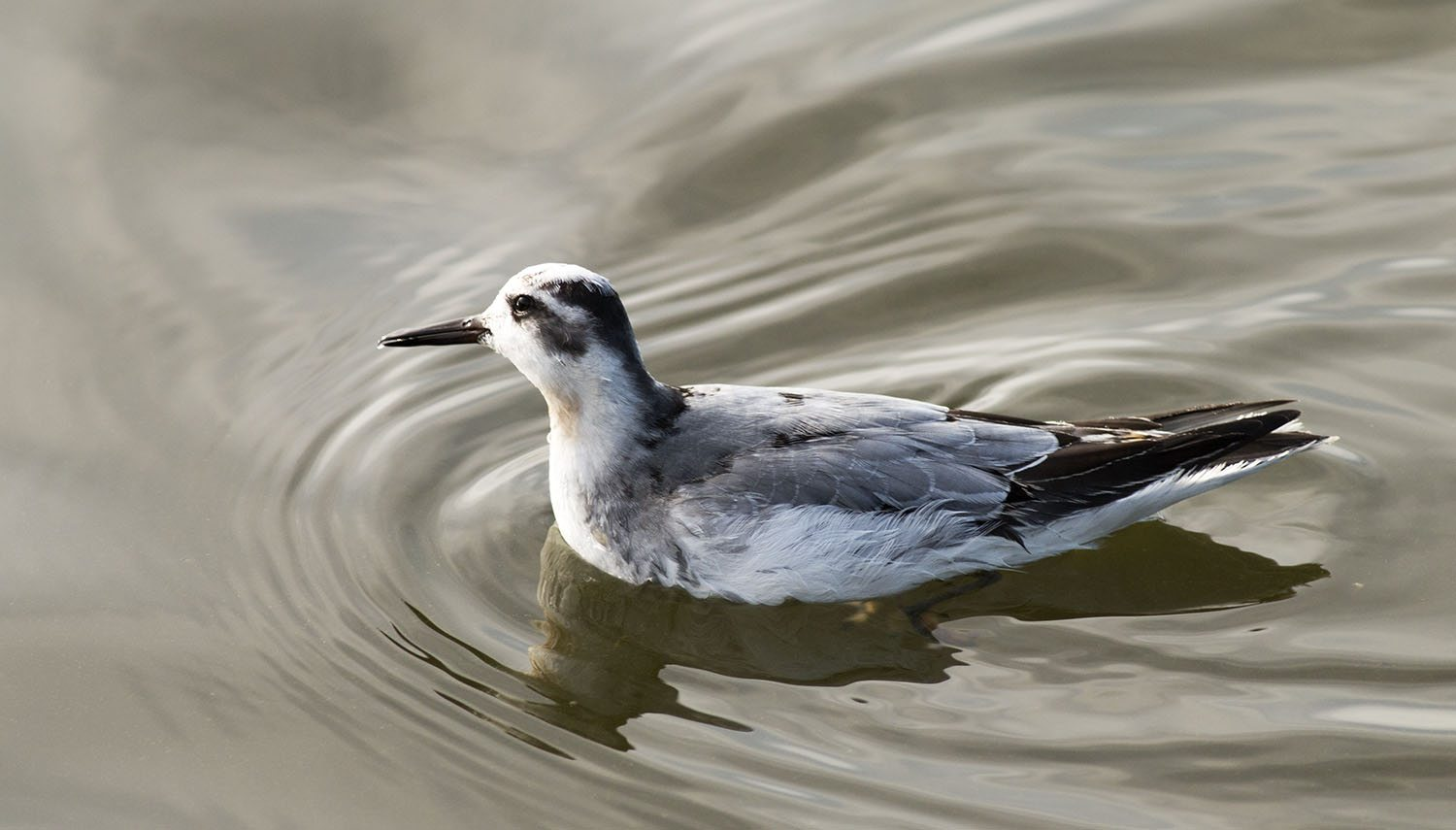 phalarope,red