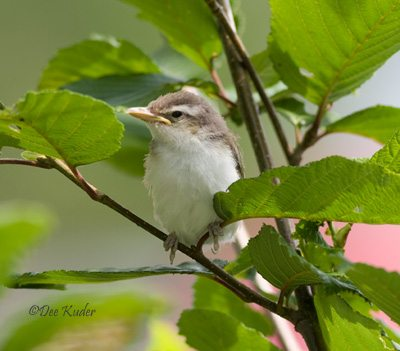 Red-eyed Vireo, fledgling