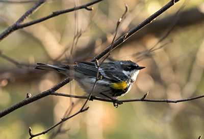 """Myrtle"" sub-species of the Yellow-rumped Warbler"